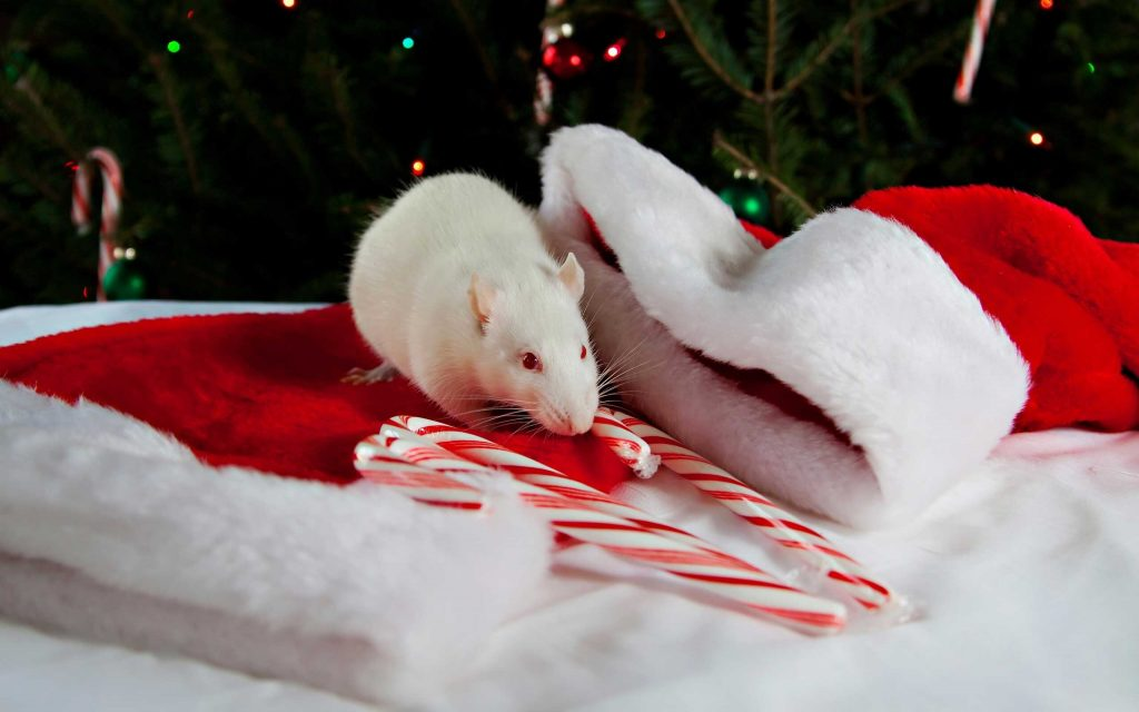 Новогодняя картинка - крыса и шапка Деда Мороза